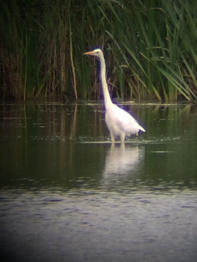 Great White Egret, Leighton Moss