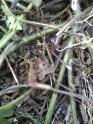 Heart and Dart Moth