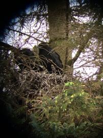 Raven fledglings, Inishowen