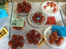 1st prize tomatoes!